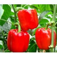 Семена перца Калифорнийское чудо (Польша), 1 грамм