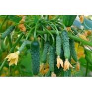 Семена огурца пчелоопыляемый Виноградная гроздь F1 (Россия), 100 семян