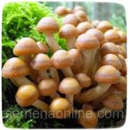 Міцелій гриба Опеньок Літній, 10г