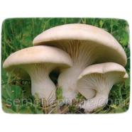 Міцелій гриба Глива Королевська, 10г