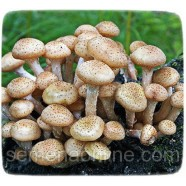 Мицелий гриба Опенок Осенний, 10г