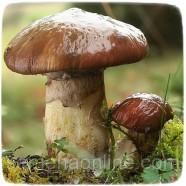 Мицелий гриба Масленок обыкновенный, 10г