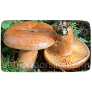 Мицелий гриба Рыжик обыкновенный, 10г