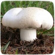 Міцелій гриба Печериці Великоплідний, 10г