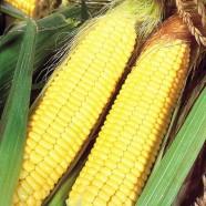 Насіння кукурудзи Попкорн Білий, 1кг