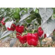 Семена перца Красный рыцарь F1, 500 семян