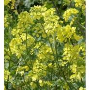 Семена горчицы Желтая, 100г