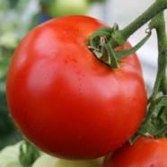Семена томата Снежный Барс, 0,5кг