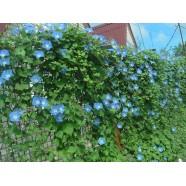 Семена Ипомея синяя, 50г