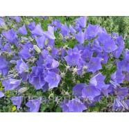 Семена цветов Колокольчики Карпатские синие, 0.1г