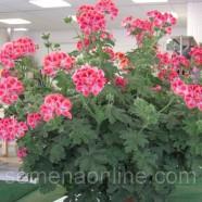 Семена цветов Пеларгония (калачики комнатные), 5 шт