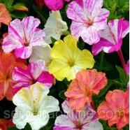 Семена цветов Мирабилис смесь, 0,5кг