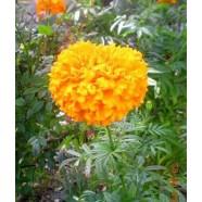 Семена Бархатцев Золотые Купола, 0,5 кг