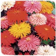 Семена цветов Циния (Майоры) Кактусовидная смесь, 0,5г