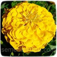 Семена цветов Циния (Майоры) Георгиноцветковая, 0,3г.