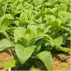 Семена Табака курительного в профессиональной упаковке