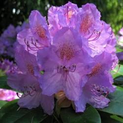 Насіння декоративних квітів і рослин