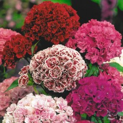 Семена цветов Гвоздики