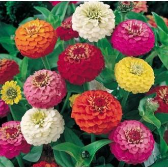 Насіння квітів Цинії