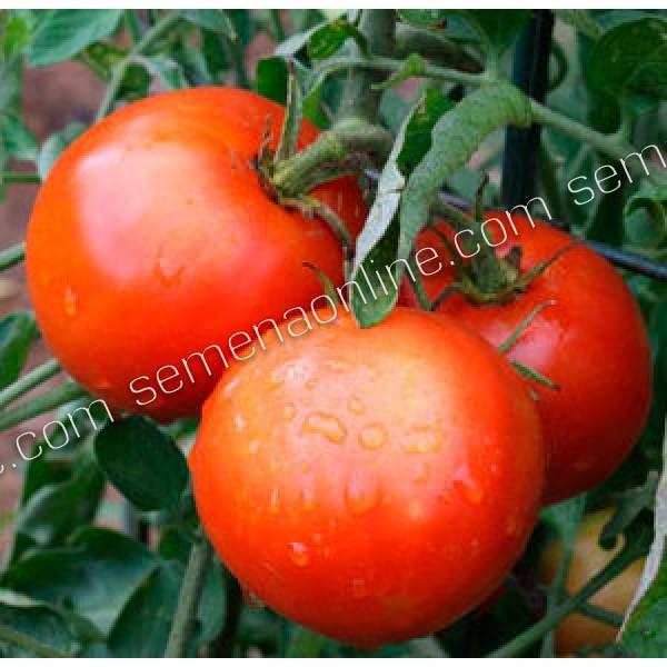 Семена томата GS-12 F1, 2 500 шт.
