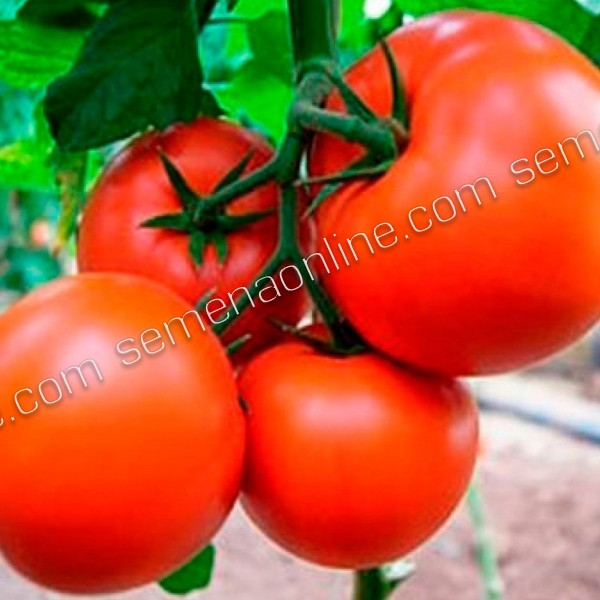 Насіння томату Бостина F1, 500 шт.