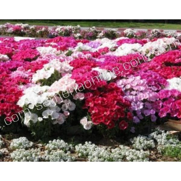 Насіння квітів Годеция Красуня літа крупноквіткова суміш 0,2 г