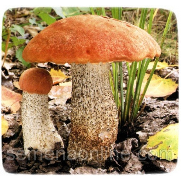 Мицелий гриба Подосиновик обыкновенный, 10г
