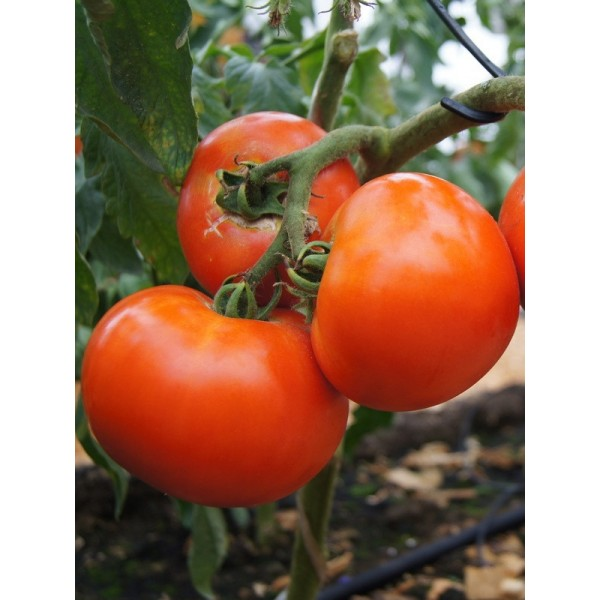 Семена томата Дебют, 0,5кг