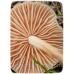Міцелій гриба Опеньок Луговий, 10г