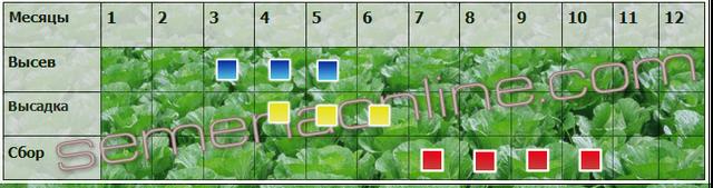 Посев-уборка капусты