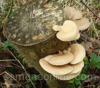 Міцелій гриба Глива