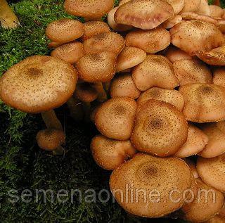 Мицелий гриба Груздь