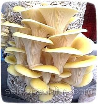 Мицелий гриба Вешенка